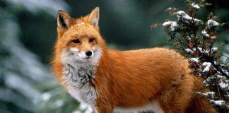 Рыжая лиса стоит на дереве покрытом снегом