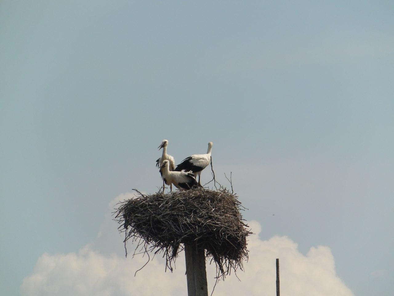 Гняздо буслоў у Нараўлянскім раёне