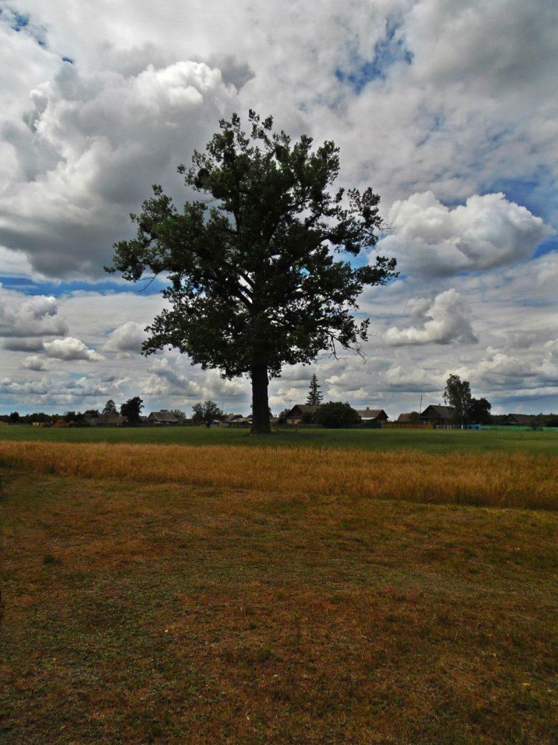 Старый дуб в поле