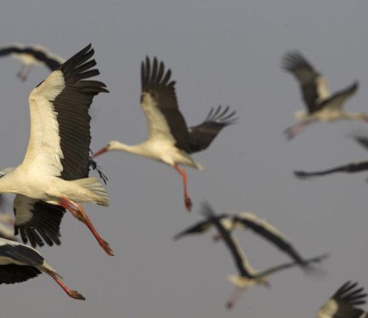 Миграции птиц аистов в Беларуси