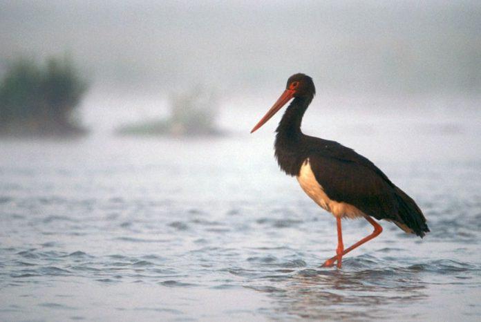 Охранный статус птиц Беларуси