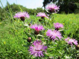 луговая растительность цветок