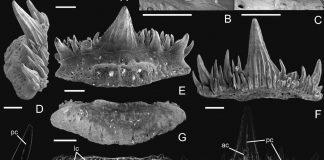 Зубы акулы древней