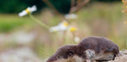 белозубка белобрюхая