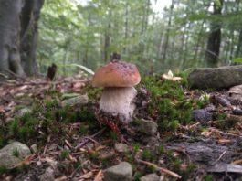 Дикорастущие грибы Беларуси и экология