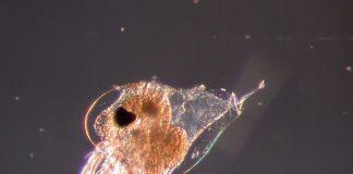ветвистоусые ракообразные Cladocera