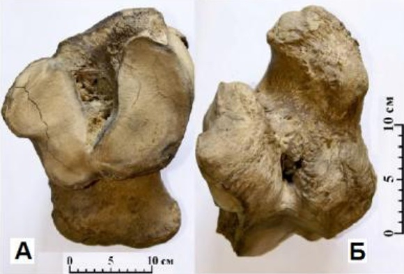 Пяточная кость Mammuthus primigenius