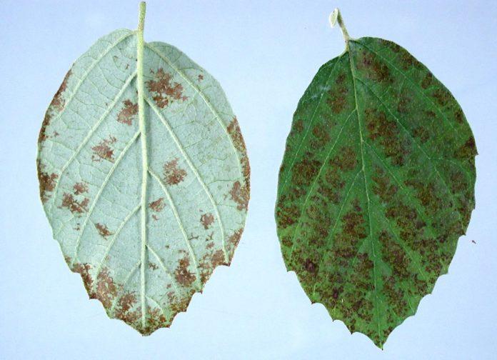 Анализ воздействия на окружающую среду промышленных предприятий города Гомеля с использованием коэффициента флуктуирующей асимметрии листьев